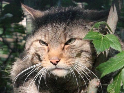 Progetto Gatto Selvatico